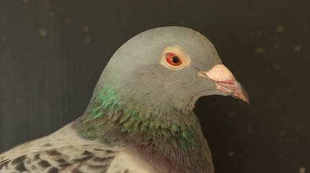 bird eye : speed racing pigeon bird