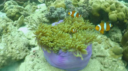 nemo clawnfish in sea sponge flower