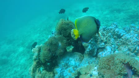 emperor angle fish in coral sea