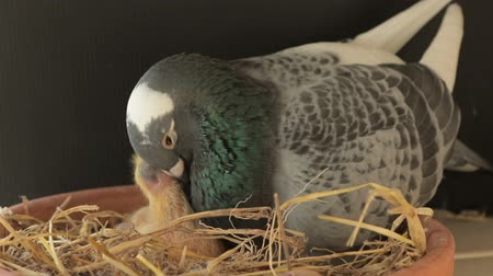 pigeon hatching in home loft Стоковые видеозаписи
