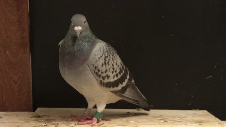 homing pigeon bird in home loft