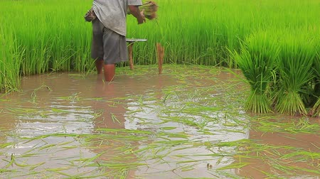 thai farmer preparing rice sprout in cultivated area