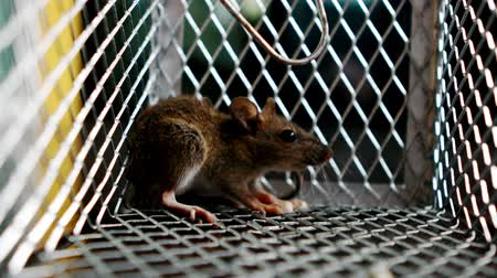 gaiola : rat trapped in mousetrap