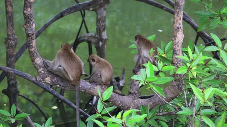 mangue : Monkeys sitting on mangrove trees Vídeos
