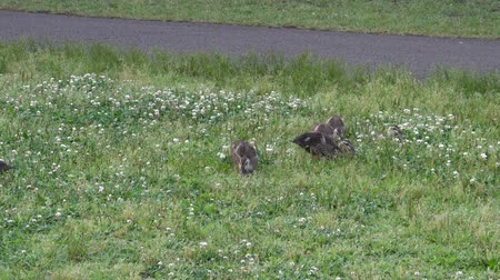 kaczka : duck family on clover field Wideo