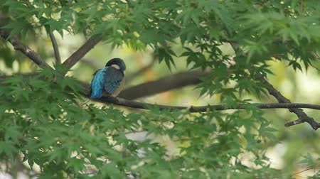atthis : Kingfisher on a branch Stock Footage