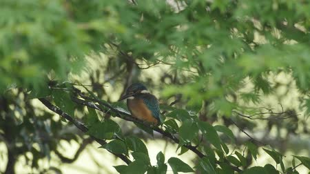 alcedo : Kingfisher on a branch Stock Footage