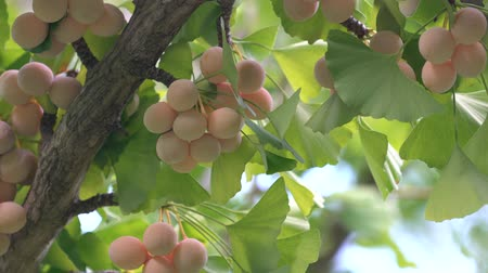biloba : Ginkgo nuts with cicadas buzz