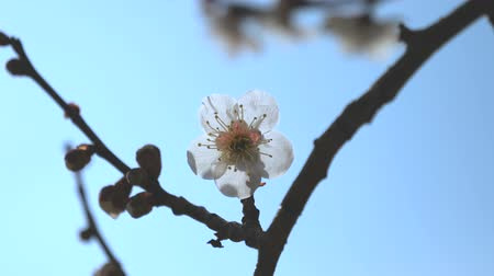 абрикос : Tokyo, Japan-February 27, 2018: Ume blossom or Plum blossom, harbinger of the arrival of spring in Japan