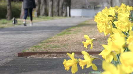 narcyz : Tokyo, Japan-March 18, 2018: People walk in a park where the narcissuses are in full bloom in spring. Wideo