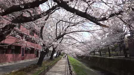 lapso de tempo : Tokyo, Japan-March 26, 2018: (time-lapse) Walking along a river under cherry blossoms or Sakura in full bloom