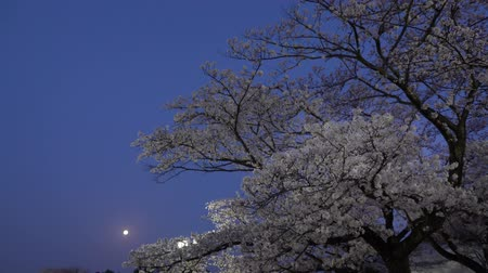 full moon : Tokyo, Japan-April 1, 2018: Cherry blossoms or Sakura in full bloom with birds tweet at dawn