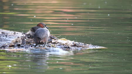 ruficollis : Tokyo, Japan-May 5, 2018: Dabchic or little grebe feeds its babies. Stock Footage