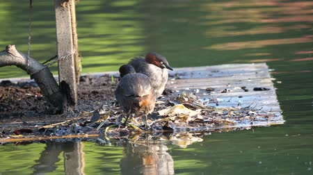 ruficollis : Tokyo, Japan-May 5, 2018: After dabchick or little grebe feeds its babies, it takes place of the partner. Stock Footage