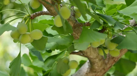 éretlen : Tokyo, Japan-June 17, 2018: Ginkgo nuts have become bigger, but still green and immature.