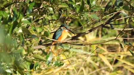 atthis : Tokyo, Japan-December 29, 2018: Alcedo atthis or kingfisher or halcyon on a branch around a pond.