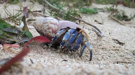 hermit crab : Amami Oshima, Japan-A Hermit Crab at Tomori Beach at Amami Oshima, Kagoshima, Japan Stock Footage