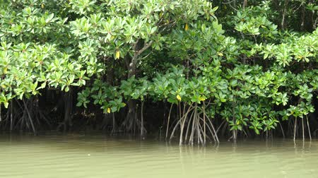 kano : Okinawa, Japan-June 2, 2019: Mangrove Forests along Miyara River, Ishigaki, Okinawa, Japan Stok Video