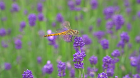 libélula : Gunma, Japan-July 24, 2019: A dragonfly on Lavender or lavandula in a garden in Gunma
