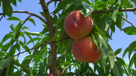 şeftali : Gunma,Japan-July 24, 2019: Fresh peach fruits on a tree Stok Video