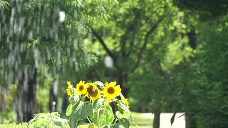 подсолнухи : Tokyo, Japan-July 26, 2019: Sunflowers beyond fountain in the park