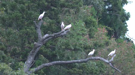 animais em extinção : Niigata,Japan-October 21, 2019: Flock of Nipponiia Nippon or Japanese Crested Ibis or Toki, once extinct animal from Japan,  in a wood in Sado island