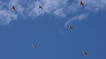 Niigata,Japan-October 22, 2019: Nipponia Nippon or Japanese Crested Ibis or Toki, Once Extinct Animal from Japan, Flying o n blue sky in Sado island Stock mozgókép