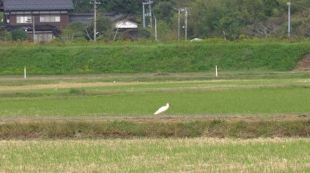 animais em extinção : Niigata,Japan-October 21, 2019: Nipponia Nippon or Japanese Crested Ibis or Toki, once extinct animal from Japan, on rice field in Sado island Stock Footage