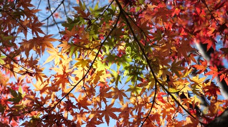 acer : Tokyo,Japan-November 29,2019: Beautiful Colorful autumn leaves or Acer palmatum observed in Tokyo