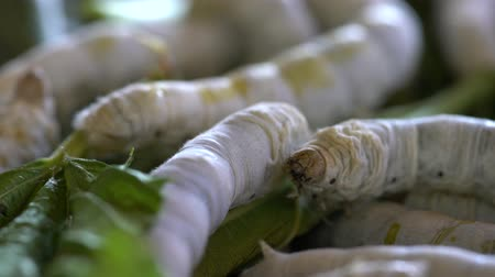 silkworm : Nakhon Ratchasima, Thailand-December 7, 2019: Closeup of Silkworms on mulberry leaves Stock Footage