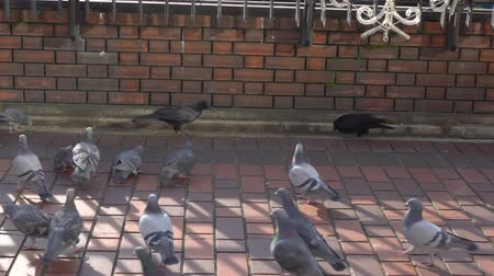 karga : Tokyo,Japan-January 10, 2020: Battle between crows and pigeons