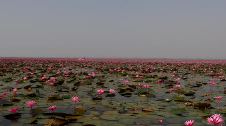flor de loto : Udon Thani,Thailand-January 22, 2020: Boats on Red Lotus Lake or Talay Bua Daeng in Udon Thani, Thailand