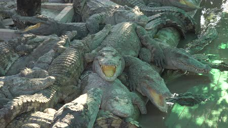 crocodilo : Siem Reap,Cambodia-January 26, 2020: Crocodiles at crocodile farm or crocodile garden in Siem Reap, Cambodia