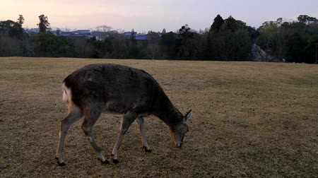 geyik : Nara,Japan-February 23, 2020: Deer at Tobihino at Nara Park in the Morning