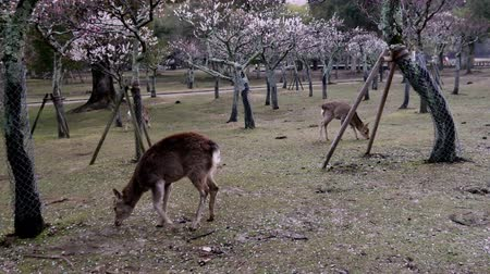 geyik : Nara,Japan-February 23, 2020: Deers at Ume Garden in Nara Park in the Winter Morning Stok Video