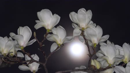 Tokyo,Japan-March 9, 2020: White Magnolia and the Moon in the Spring Night
