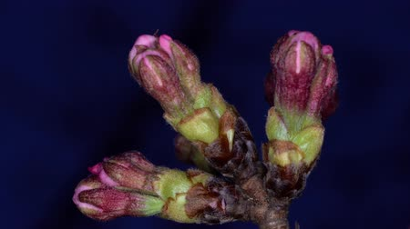 japonya : Tokyo,Japan-March 19, 2020: Closeup of Buds of Cherry Blossoms in the Night. They Will Bloom in a Few Days.