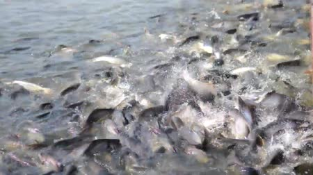 fish farm : Iridescent shark Fish in river of Thailand