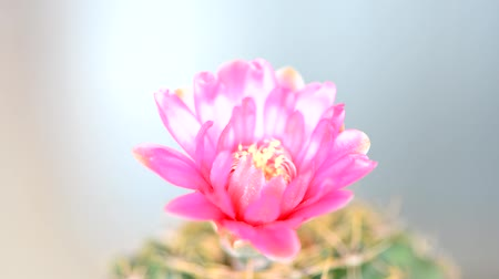 kaktus : Closed up cactus flower blooming