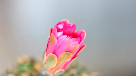 с шипами : Closed up cactus flower blooming