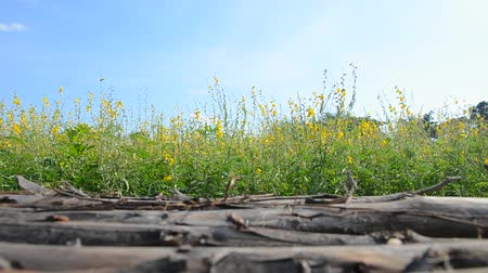 rape oil : sunn hemp field (crotalaria juncea or indian hemp) with wooden bridge