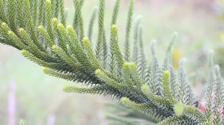 tűlevelű : Close up of green pine leaf with the wind Stock mozgókép