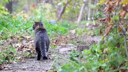 pulling off : Beautiful tabby cat stands on a path and then went off