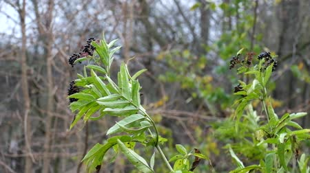 mürver : Branches of black elderberry with fruits fluttered in the wind (Sambucus nigra)