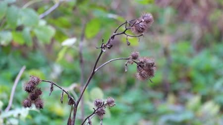 Dry burdock fluttered in the wind under a shallow rain (Arctium minus)