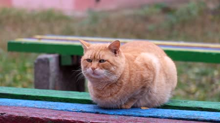 Fat ginger cat sits on a bench and looks around Dostupné videozáznamy