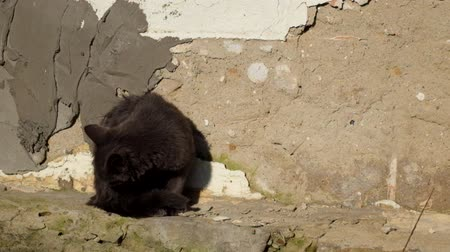 Gray kitten is washing near a shabby wall