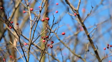 Leafless hawthorn branch with red berries fluttered in the wind (Crataegus monogyna) Dostupné videozáznamy