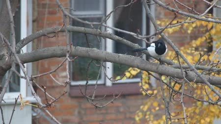 Magpie sits on a leafless branch of a nut and looks interestedly down and around (Pica pica)