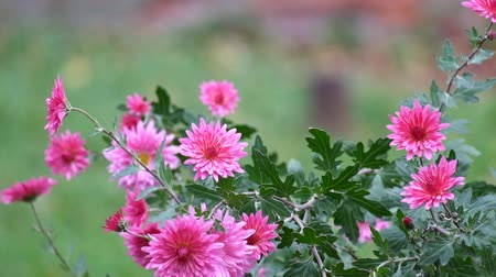 Purple chrysanthemum shakes a gentle breeze